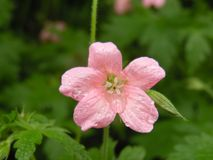 Pink Geranium. With water drops on pedals royalty free stock photos