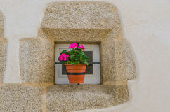 Pink geranium in a plant pot Stock Image