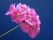 Pink Geranium postcard. Pink Geranium Flower Close up on Blue Background Stock Photos