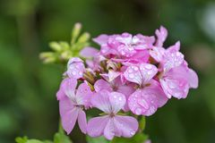 Pink geranium raindrops. A detail of a pink geranium flower with water drops royalty free stock photo