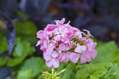 Pink geranium raindrops. A detail of a pink geranium flower with water drops stock image