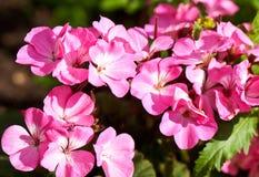 Pink geranium Royalty Free Stock Photography