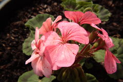 Pink geranium. With six flowers Royalty Free Stock Image