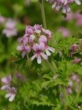 Pink Geranium in Springtime Bloom. Pink geranium in spring bloom in a garden in Vista, California stock image