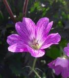 Pink Geranium. Sunshine  shadow stamen  petals Royalty Free Stock Photos