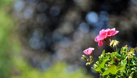 Pink geranium on a tree background. Copy space. Pelargonium,geranium or cranesbill flowers against a background of blurred trees. Focus on foreground. Space for stock photos