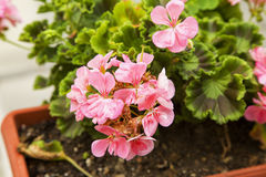 Pink geranium in a vase. Horizontal image stock images