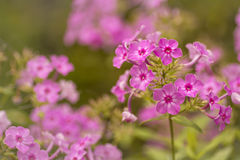 Pink Geraniums Stock Images
