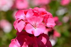 Pink geraniums in bloom. Close up of a bunch of pink geraniums in bloom with a pink and green defocused background Royalty Free Stock Images