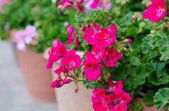 Pink geraniums Stock Photography