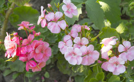 Pink geraniums. In the garden Stock Photos