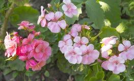 Pink geraniums Stock Photos