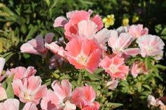 Pink geraniums Royalty Free Stock Photos