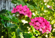 Pink Geraniums Royalty Free Stock Photo