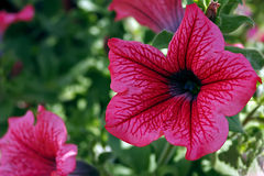 Pink geraniums Royalty Free Stock Images