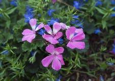 Pink geraniums and lobelia erinus techno blue Royalty Free Stock Images