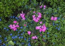 Pink geraniums and lobelia erinus techno blue Stock Image