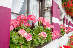 Pink geraniums in pots on the windowsill Royalty Free Stock Photos