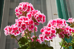 Pink geraniums on windowsill Royalty Free Stock Images