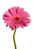 Pink gerber stock photo