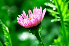 Pink gerber Stock Images