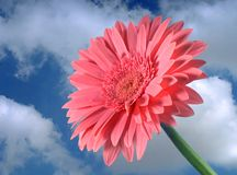 Pink Gerber. Flower with green stem against blue sky and white clouds Stock Images