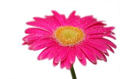 Pink gerber. Isolated on white background Stock Images