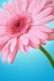 Pink gerber Royalty Free Stock Image