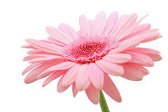 Pink gerber Royalty Free Stock Images