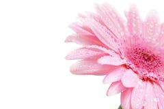 Pink gerber Stock Image