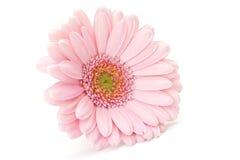 Pink gerber Royalty Free Stock Photos