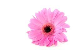 Pink Gerber close-up Stock Images
