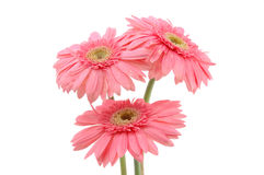 Pink gerber daisies Royalty Free Stock Photos