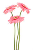Pink gerber daisies royalty free stock photography