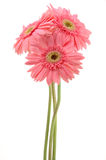 Pink gerber daisies Royalty Free Stock Photo