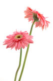Pink gerber daisies. Two pink gerber daisies in isolated white background Royalty Free Stock Image