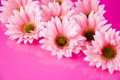 Pink gerber daisies stock photography