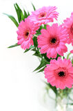 Pink gerber daisies bouquet. Isolated on white background Royalty Free Stock Images