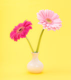 Pink gerber daisies flowers Royalty Free Stock Photos