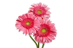 Pink Gerber Daisies Royalty Free Stock Images