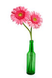 Pink Gerber Daisies. Two pink gerber daisies in a green glass bottle vase isolated on white royalty free stock photography