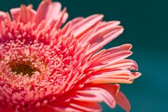 Pink Gerber Daisy Stock Photography