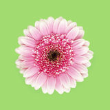 Pink gerber daisy. Pink and purple gerber daisy on green background stock photo