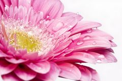Pink gerber daisy Royalty Free Stock Image