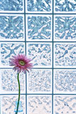 Pink Gerber Daisy Stock Photos
