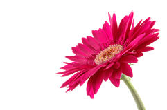 Pink gerber daisy. In isolated white royalty free stock photo