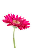 Pink gerber daisy. In isolated white stock photos