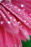 Pink Gerber Daisy Abstract Stock Photos