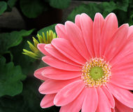 Pink Gerber Daisy Background Royalty Free Stock Photo