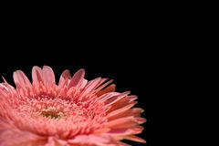 Pink Gerber Daisy on Black Stock Photos